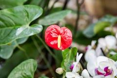 Красный антуриум цветка Стоковые Изображения