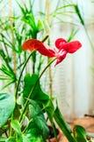 Красный антуриум цветка Стоковые Фотографии RF