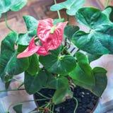 Красный антуриум цветка Стоковая Фотография
