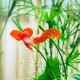 Красный антуриум цветка Стоковое Изображение RF