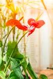 Красный антуриум цветка Стоковое фото RF