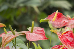 Красный антуриум, цветок фламинго Стоковое Изображение