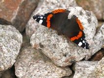 Красный адмирал бабочка Стоковые Фото