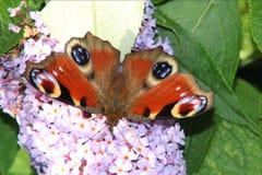 Красный адмирал бабочка Стоковое Изображение