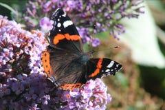 Красный адмирал бабочка Стоковое Фото