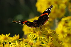 Красный адмирал бабочка Стоковая Фотография