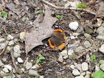 Красный адмирал бабочка стоковые фотографии rf