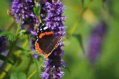 Красный адмирал на фиолетовом цветке Стоковые Изображения RF