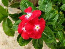 Красный барвинок Мадагаскара стоковая фотография rf