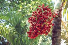 Красный бетэл - гайка на пальме Стоковая Фотография RF