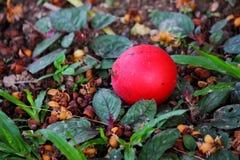 Красный бетэл Стоковая Фотография RF