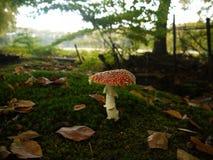 Красный белый запятнанный гриб Стоковые Изображения