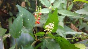 Красный белый индонезийский цветок Стоковое Изображение RF