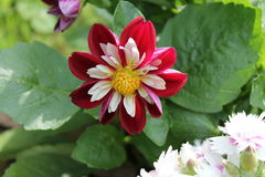 Красный, белый и желтый цветок Стоковое Фото