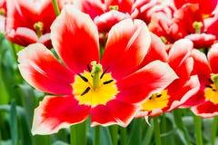Красный белый тюльпан в поле тюльпанов Стоковое Изображение RF