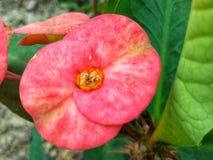 красный блеск цветка кактуса в солнечном свете в саде с деревом стоковое изображение rf