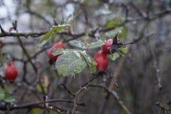Красный боярышник Стоковая Фотография