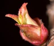 Красный бутон лист в природе Макрос Стоковые Фото