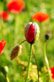 Красный бутон мака Стоковая Фотография RF