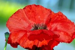 Красный бутон мака Стоковая Фотография