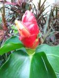 Красный бутон цветка с муравьями Стоковые Изображения RF