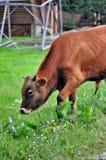 Красный бык на луге Стоковые Изображения RF