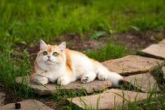 Красный великобританский кот с зелеными глазами лежа на камне стоковое фото