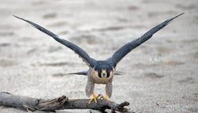 Красный взваленный ястреб протягивая его крылья перед принимать на пляж парка штата McGrath в Вентуре Калифорния США стоковая фотография