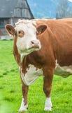 Красный взгляд крупного плана коровы внутри к камере на предпосылке haus фермы Стоковое фото RF