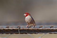 Красный возглавленный зяблик Стоковые Изображения