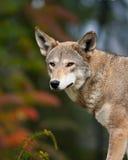 красный волк Стоковое Фото
