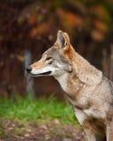 красный волк Стоковая Фотография