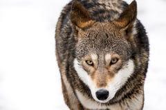 Красный волк в снеге II Стоковая Фотография RF