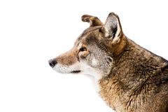 Красный волк в снеге III Стоковое Изображение RF