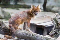 красный волк Стоковые Фотографии RF