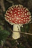 Красный выход пластинчатого гриба мухы антисептиковый против мух Стоковая Фотография