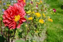 Красный георгин с a hoverfly против красочного сада стоковые фотографии rf