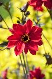 Красный георгин Стоковое Фото