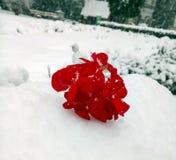 Красный гераниум в снеге стоковое изображение