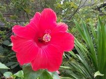 красный гибискус в саде Стоковые Фотографии RF