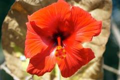 Красный гибискус от фронта Стоковые Фотографии RF