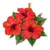 Красный гибискус цветет листья и бутоны Стоковое Изображение