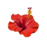 Красный гибискус цветет листья и бутоны Стоковые Изображения