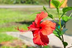 Красный гибискус Стоковая Фотография