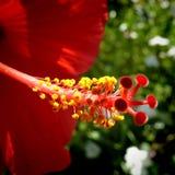 Красный гибискус Стоковые Фото