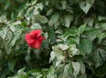 Красный гибискус Стоковое Изображение