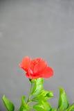 Красный гибискус Стоковые Изображения