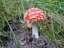 Красный грибок toadstool Стоковые Изображения