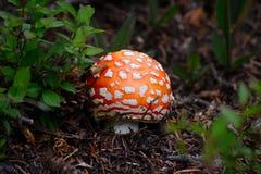Красный гриб апельсина и белых запятнанный мухы пластинчатого гриба Стоковые Изображения