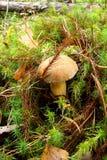 Красный гриб бархата вырос в лесе на зеленом мхе Стоковые Фотографии RF